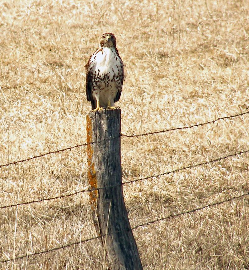 Chicken Hawks Kansas Creatures Wildlife Of Jefferson
