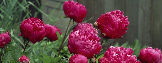 princess peony / ljworld, Natural flower