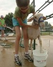 Maggy Keslar 12, of the Kanwaka 4-H club, washes the feet of her sheep at the Douglas County Fair.
