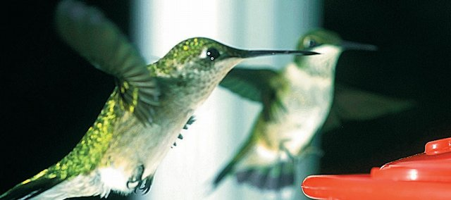 Two Hummingbirds approach a feeder south of Lawrence on Wednesday. The birds have been passing through Lawrence on their way to the south.