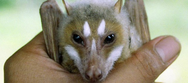 "Jake Esselstyn, a Kansas University graduate student in mammalogy, discovered and named a new fruit bat in the Philippines. Esselstyn, who named the bat the ""flying fox,"" is the first person in decades to discover a new species of bat."