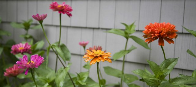 Zinnias are colorful and showy from June to fall.
