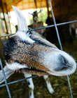 An inquisitive goat sneaks a peek from its kennel at Landeria Farm.