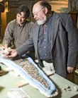 In the basement of Kansas University Natural History Museum, paleontologist David Burnham, left, and Larry Martin, professor and senior curator of vertebrate paleontology, view a backbone of a mosasaur and the back paddle of Dolichorhynchops bonneri, a giant seagoing reptile from about 80 million years ago. Dozens of never-before-seen fossilized specimens will be on display Sunday at the museum.