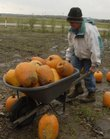 Mike Garrett carts some pumpkins to drier ground at Garrett's Fruit Stand across from the Lawrence Municipal Airport. With Halloween just around the corner, Garrett thinks this year was above average for him. Other area farmers are not so happy about recent weather - heavy rains have prevented some from harvesting their soybean crops.