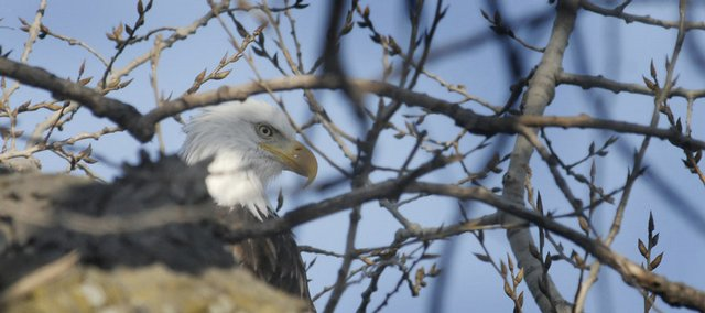 A bald eagle spies out territory with a keen eye from a cottonwood tree along the Kansas River, looking for a day&#39;s meal. Journal-World photographer Richard Gwin took this shot in the early morning hours.