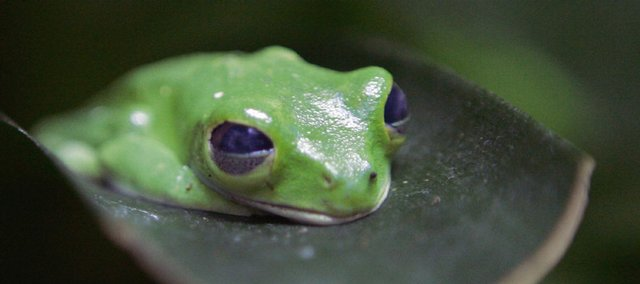 Scientists estimate that from one-third to one-half of amphibian species are in danger of extinction. Shown here is a red-eyed tree frog.