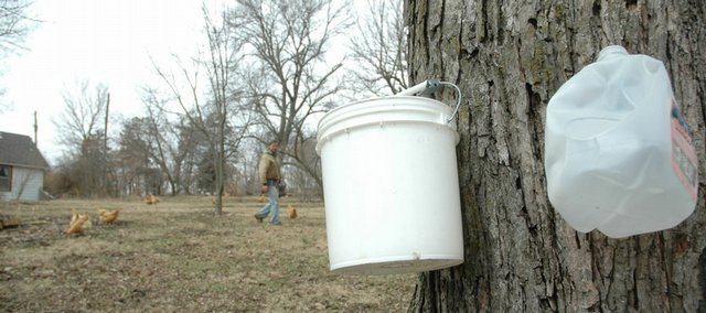 Bob Lominska has tapped into several silver maple trees on his property to get maple syrup. After drilling into his trees and hanging buckets, Lominska has gotten around 5 gallons of raw sap so far this season.