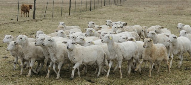 Lamb producer Debbie Yarnell of Lawrence's Homespun Hill Farm raises the slow-maturing Katahdin sheep, shown here.