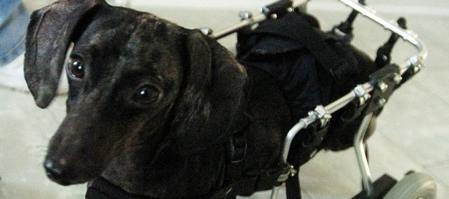 Duke, a dachshund who does not have the use of his back legs, has a custom-made wheelchair that allows him to move about with the four other dogs and cat that live with him in his Pittsburg home.