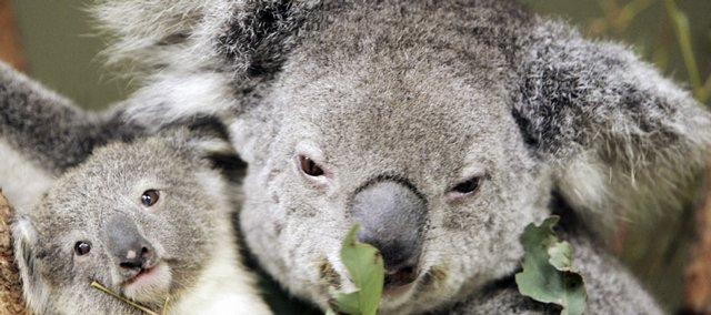 An 8-month-old koala joey, left, clings to his mother, Adori, on June 30, 2006, at Sydney's Taronga Zoo. A researcher says koala numbers are under threat from carbon pollution in the atmosphere.