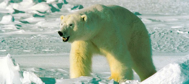This undated file photo from the U.S. Fish and Wildlife Service's Alaska Image Library shows a polar bear. Less than a month after declaring polar bears a threatened species because of global warming, the Bush administration is giving oil companies permission to annoy and potentially harm them in the pursuit of oil and natural gas.