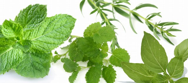 Mint, lemon balm, anise hyssop and basil are some of the herbs that can be used to make tea.
