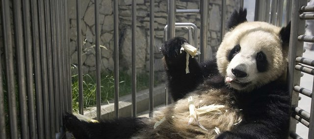 A panda rescued after the May 12 earthquake eats bamboo shoots in a cage at a panda research center in China's Sichuan province. Pandas living in an earthquake-hit area in southwest China have been evacuated to temporary shelters because of a shortage of food and the continuing threat of landslides and other hazards.