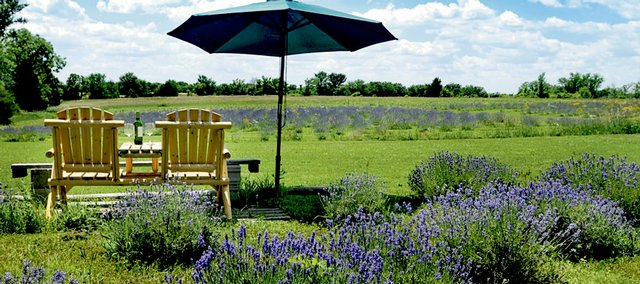 Lavender thrives on the rural property of Jack and Kathy Wilson, east of Lone Star Lake. The Wilsons' lavender fields have grown from 10 plants to 100, and now 2,000 plants for this year.