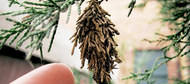 A bagworm clings to an evergreen tree in downtown Lawrence on Tuesday, August 19, 2008.