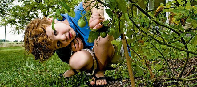 Jack Bellemere, 5, creeps around the garden picking ripened tomatoes for his mother Thursday at their home north of Lawrence.