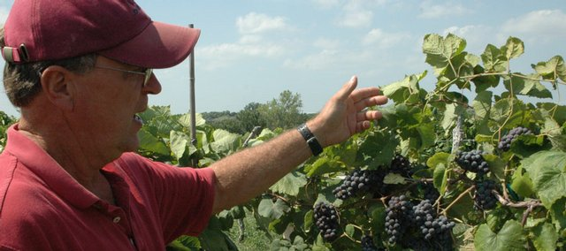 Pep Solberg lifts up the canopy on some vines to reveal clusters of grapes at Bluejacket Crossing Winery and Vineyard, located about four miles southwest of Eudora.