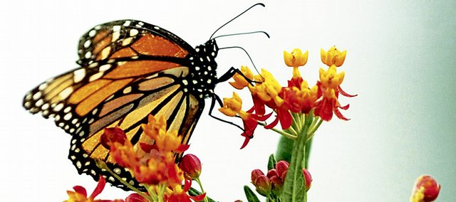A monarch butterfly feeds Aug. 28 at the Butterfly Garden at Foley Hall on the KU campus. There will be an open house at the garden from 8 a.m. until about 3 p.m. Saturday