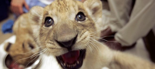 A baby African Lion cub growls at the camera in July at the Riverbanks Zoo and Garden in Columbia, S.C. This cub is one of five bred by first-time parents, and their genes are important to the captive population of lions.