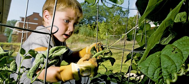 Hilltop Child Development Center student Carter Elston tugs on a green bean as he and several classmates gather vegetables from the garden at the preschool at Kansas University. Hilltop was recently awarded a national grant that will buy gardening supplies and educational gardening resources.