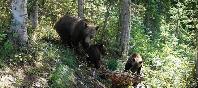 This undated handout photo provided by the U.S. Geological Survey shows a grizzly bear with cubs inside a bear hair trap in Glacier National Park in Montana.
