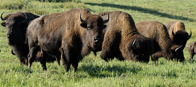 Buffalo owned by Don and Terri Gibbs graze on prairie grass. The Gibbs' ranch is on this year's Kaw Valley Farm Tour, which is on Oct. 4-5.