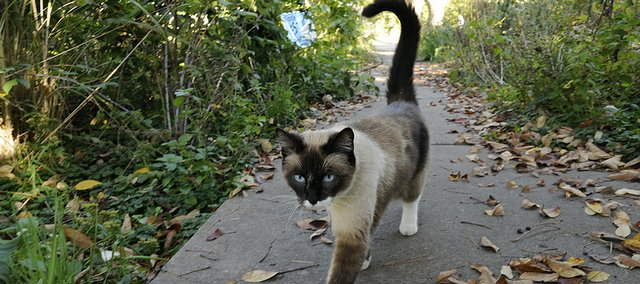 A feline wanders along the sidewalk near New York and 12th streets on Thursday. Recent reports of cat mutilations have cat owners and the police department scrambling for answers, despite little evidence of who, or what, is responsible.