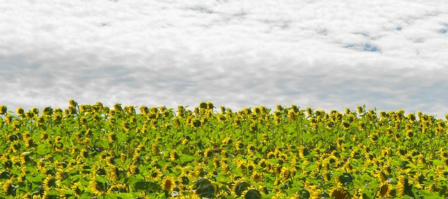 """Attraction,"" sunflower field and gathering clouds taken in Reno, Kan."