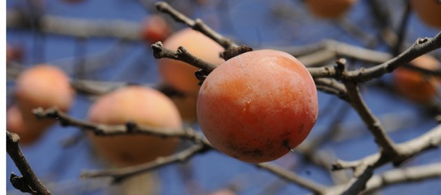 Fall's cold temperatures help in the riping of persimmons.