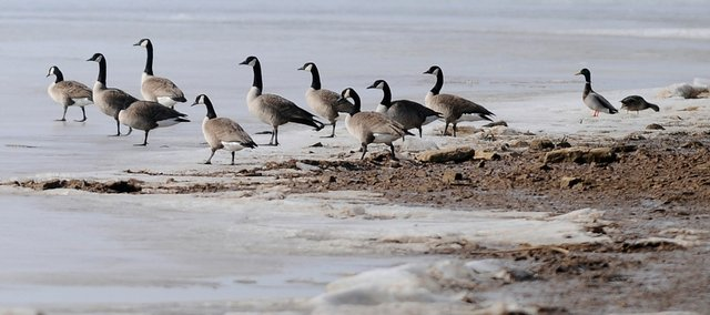 A gathering of geese wander out onto the ice from the beach at Lake Perry Thursday, Jan. 22, 2009. Kansas reservoirs are filling with sediment because of runoff and bank erosion. Lake Perry is one of the lakes in eastern Kansas most affected.