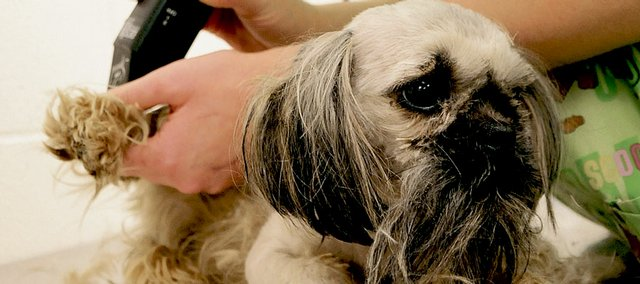 Kali Vukas, animal welfare specialist at the Lawrence Humane Society, grooms a young female Pekingese shih tzu that was recently brought in with dozens of other dogs that the state had confiscated from breeders.