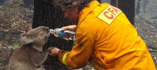 Country Fire AUthority firefighter David Tree shares his water with an injured Australian koala at Mirboo North after wildfires swept through the region Monday. Wildfires raging across southeastern Australia have killed or panicked wild animals such as koalas and kangaroos, as well as livestock. The human death toll stood at 181 today and was expected to rise. A count of animals killed has not been made.