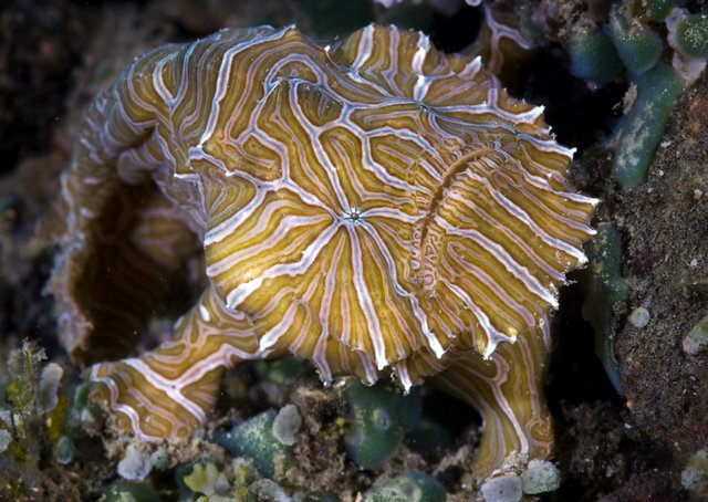 """A recently discovered fish named """"psychedelica"""" is shown in the waters off Ambon island, Indonesia. The froglike fish that bounces on the ocean floor like a rubber ball has been classified as a new species, a scientific journal reported."""