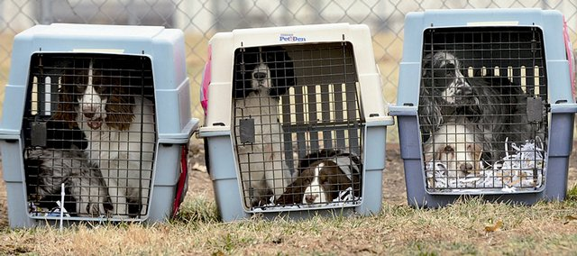 Several English springer and cocker spaniels are in crates at the Lawrence Humane Society awaiting the second part of a long journey on Friday.  The Kansas Animal Health Department picked up approximately 40 dogs from a breeder in Garden City and brought them to Lawrence. From here the dogs were headed to a rescue organization in Marshall, Mo., to be put up for adoption.
