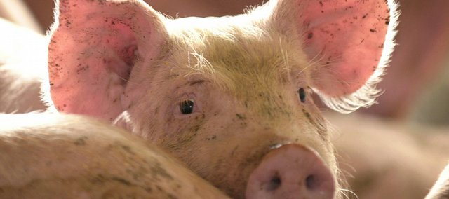 A commercial market hog stands in a pen in a hog lot near Panora, Iowa, in this April 30, 2002, file photo. On Capitol Hill, a $1.7 million earmark for pig odor research in Iowa has become a joke, but to Iowa residents, it is no laughing matter.