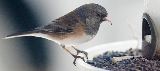 A female junco bird eats nyjer seed last week in Omaha, Neb. Birdseed prices have been fluctuating for months, and the cost of a premium seed imported from India is at an unprecedented high.