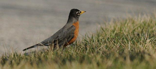 Jayhawk Bird ja