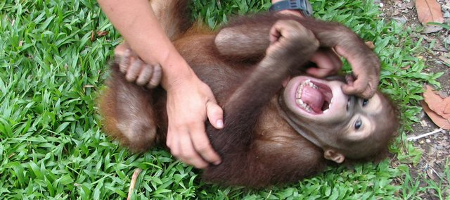 In this 2005 photo provided by the University of Portsmouth, England, baby orangutan Naru laughs while being tickled, in Sabah, Malaysian Borneo. It took a lot of tickling of chimps and other apes, but scientists say they've traced the origin of laughter well back into humankind's evolutionary past.