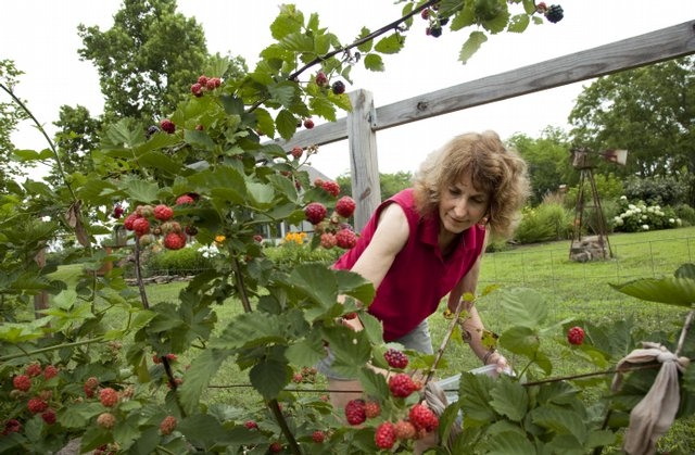 Sheila Reynolds searches for ripe blackberries in her garden in rural Douglas County. Reynolds, a law professor at Washburn University, and her husband, Lowell Paul, have begun adding features to their garden to maximize space and overcome challenges with poor soil.