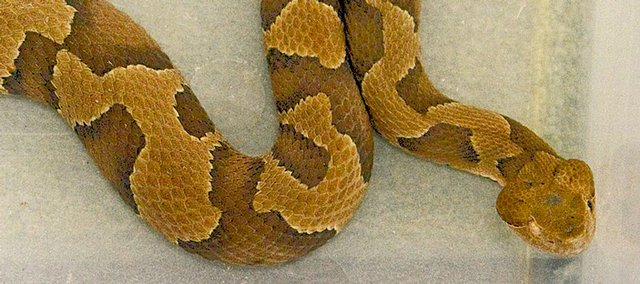 This female Copperhead snake is part of an exhibit at the Prairie Park Nature Center.