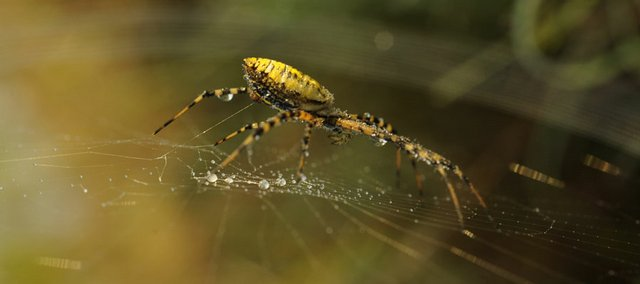 A spider weaves its web in the morning, collecting dew from the cool air. With the arrival of fall, more spiders may be noticeable as they settle in and prepare to lay egg sacs before winter.