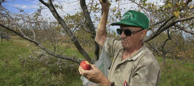 Floyd Ott, who lives south of Eudora, eats an apple Monday in his orchard. Because of pollination problems, his apple crop was slashed this year. Making matters worse, last week some of the last ripe apples off his trees were stolen.
