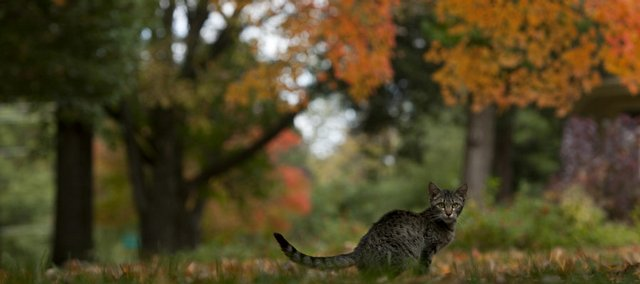 A kitten hangs out under the foliage of a maple tree Friday along Illinois Street in Old West Lawrence. This year's weather conditions have set the stage for colorful fall foliage.