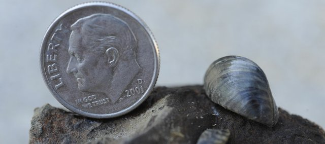 A Zebra Mussel that was found in the Kansas River is shown with a dime. Several thousand of these mussels have been found in the river. The species' rapid reproduction and colonization already force municipalities, utilities and other industrial operations nationwide to spend $1 billion a year on control efforts.