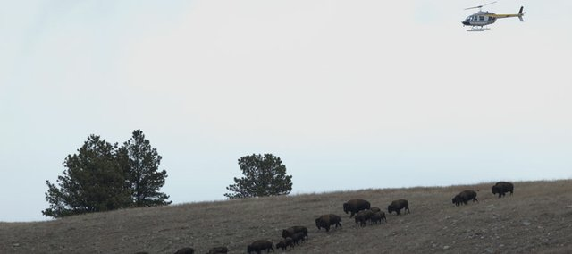 A helicopter sweeps a herd of bison over a hill at Wind Cave National Park north of Hot Springs, SD.
