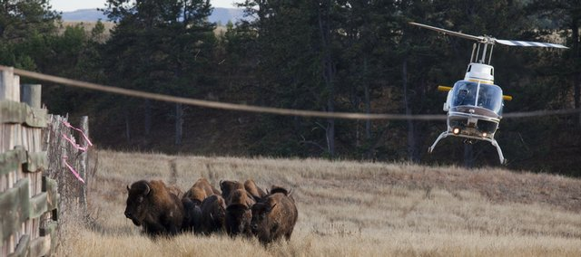 A helicopter chases a herd of bison into the corral area during the 2009 bison roundup at Wind Cave National Park north of Hot Springs, SD.
