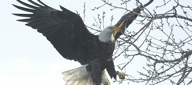 The Dec. 19, 2009, Christmas bird count found several species of birds in the Lawrence area, including bald eagles.