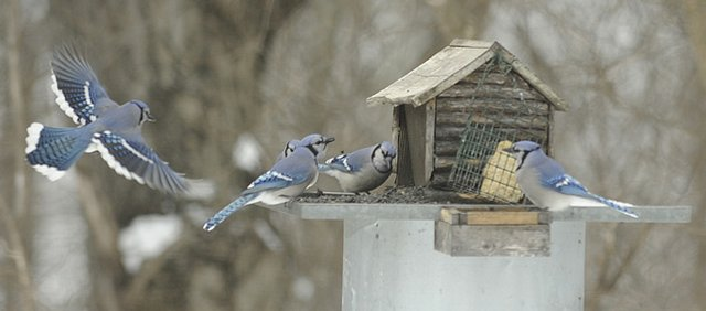 A group of Blue Jays gather at a feeder at Ruth Ellen Bartels home south of Lawrence on Jan. 6, 2010.