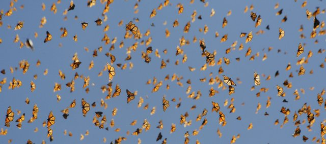 Monarch butterflies gather in Mexico during their winter migration in 2009. Monarch habitats are being threatened by development, logging and cold weather, and fewer monarchs are now in Mexico than ever before. Chip Taylor, director of KU's Monarch Watch, says that if current trends continue, the entire annual migration could be threatened.